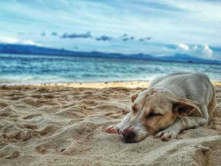 dark yellow labrador retriever lying on the sea shore